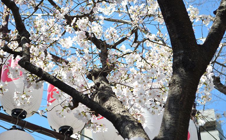 亀有香取神社の桜